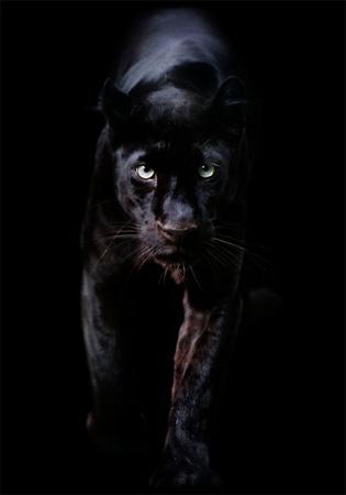acf55aa3883 De Black Panther is een schitterend roofdier dat door zijn imposante  verschijning tot veler verbeelding spreekt